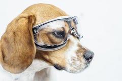 Beaglehund i säkerhetsexponeringsglas som bort ser Royaltyfria Bilder