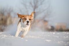 Beaglehund i snö Fotografering för Bildbyråer