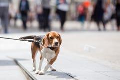 Beaglehund i staden Royaltyfri Foto