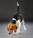 Beaglehund i studio Fotografering för Bildbyråer