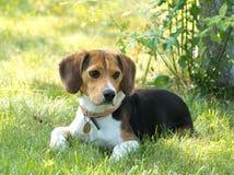 Beaglehund i trädgården royaltyfri fotografi