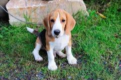 Beaglehund i trädgården Arkivfoto