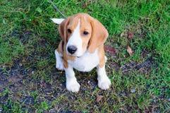 Beaglehund i trädgården Royaltyfri Foto