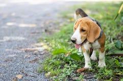 Beaglehund i trädgården Arkivbild