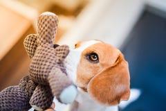 Beaglehund med en favorit- leksak i mun inomhus arkivfoto