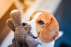 Beaglehund med en favorit- leksak i mun inomhus royaltyfri fotografi
