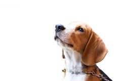 Beaglehund med isolatbakgrund Royaltyfria Bilder