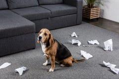 Beaglehund med sönderrivet pappers- sammanträde på golv hemma Royaltyfria Bilder