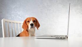 Beaglehund och bärbar dator Klyftig hund som arbetar med bärbara datorn Tema av husdjur Fotografering för Bildbyråer