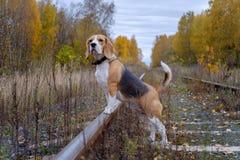 Beaglehund på en bakgrund av höstskogen Royaltyfri Foto