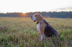 Beaglehund på en gå tidigt på morgonen royaltyfria foton
