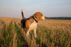 Beaglehund på en gå tidigt på morgonen arkivbild