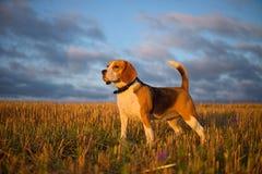 Beaglehund på en gå tidigt på morgonen royaltyfri bild