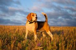 Beaglehund på en gå tidigt på morgonen fotografering för bildbyråer