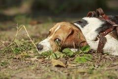 Beaglehund som ligger på gräset Se kameran Arkivfoto