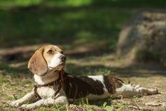 Beaglehund som ligger på gräset värma sig sun Royaltyfria Bilder