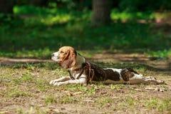 Beaglehund som ligger på gräset värma sig sun Royaltyfri Bild