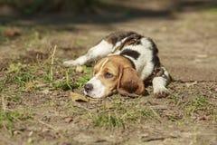 Beaglehund som ligger på gräset värma sig sun Arkivbild