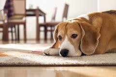 Beaglehund som ligger på matta i slags tvåsittssoffahem Royaltyfri Fotografi