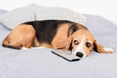 Beaglehund som ligger på säng med tvfjärrkontroll Fotografering för Bildbyråer