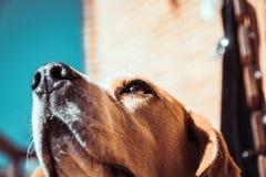 Beaglehund som luktar eller sniffar luft med näsan Spåring av beaglehunden royaltyfria bilder