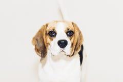 Beaglehund som ser in i kamera på vit bakgrund Royaltyfria Bilder