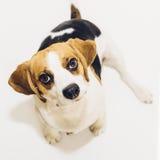Beaglehund som ser in i kamera på vit bakgrund Arkivfoton
