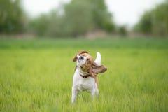 Beaglehund som skakar hans huvud Arkivbilder