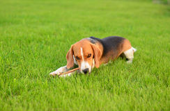 Beaglehund som spelar med pinnen arkivbild