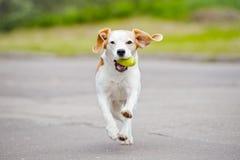 Beaglehund utomhus Arkivbild