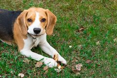 Beaglehund utomhus Stående av en gullig knepig beagle fotografering för bildbyråer