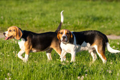 beaglehundar arkivbilder