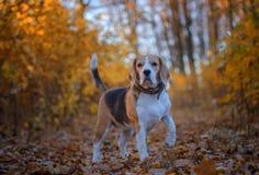 Beaglehunden på en gå i morgonen i hösten parkerar arkivfoton
