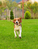 Beaglehunden är köra och spela med pinnen Arkivfoton
