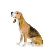 Beaglehunden som bort ser och, up. Fotografering för Bildbyråer