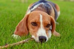 Beaglehunden spelar med pinnen royaltyfria foton