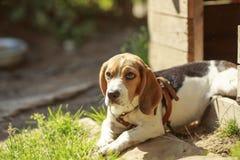 Beaglehundhundkoja lögner om hemhundkapplöpning Royaltyfria Bilder
