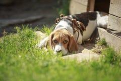 Beaglehundhundkoja lögner om hemhundkapplöpning Fotografering för Bildbyråer