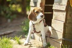 Beaglehundhundkoja sitta runt om hushundkapplöpningen Arkivfoton
