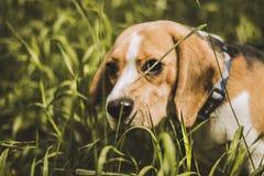 Beaglehundjägaren följer slingan royaltyfria bilder