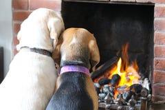Beaglehundkapplöpning vid brand royaltyfri fotografi