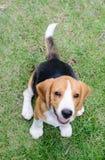 Beaglehundleende i trädgården Royaltyfri Foto