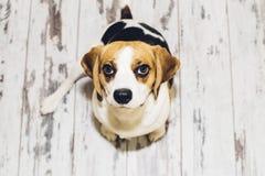 Beaglehundsammanträde på detseende golvet som ser in i kamera Arkivbilder