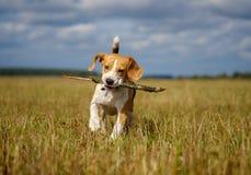 Beaglehundspring omkring och spela med en pinne fotografering för bildbyråer