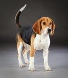 Beaglehundstående Royaltyfri Fotografi