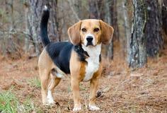 Beaglehundvalp arkivbilder