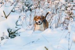 Beagleklocka in i kameran Jägarehundstag i snöig fält Beaglehuvud i snö royaltyfri fotografi
