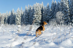 Beagleklocka in i staget för skogjägarehund i snöig fält arkivbilder