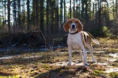 Beagleklocka till kameran och stag i skogen Royaltyfria Bilder
