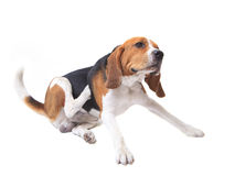 Beaglen förföljer på vit Royaltyfri Foto